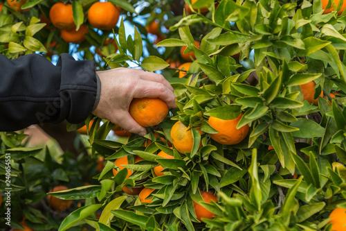 Hand som plockar clementin från träd