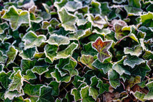 Hoar Or Rime Frost, Ice Crystals On The Leaves Of Ivy In The Garden