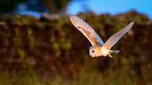 Flying Wild Barn Owl Hunting At Sunset Time In Nice Light In The Natural Habitat In Yorkshire Dales, UK