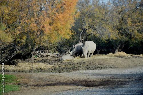 Rhinocéros : femelles et bébé