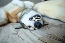 White Teeth Of Dog