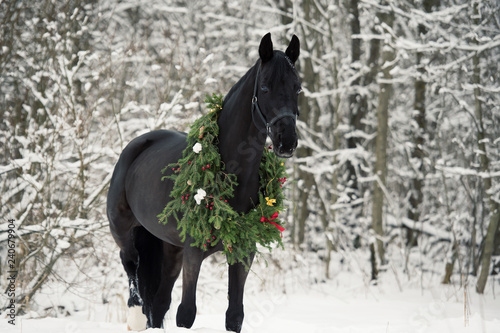 Fototapeta black horse with christmas wreath. winter obraz