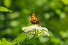 Red Admiral Butterfly On White Flowers Of A Blackhaw Bush
