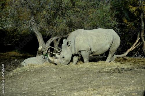 Rhinocéros : mère et bébé