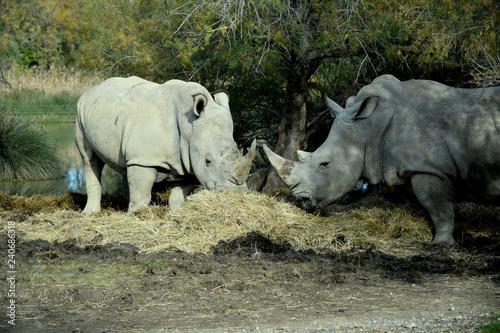 Rhinocéros mangeant du fourrage
