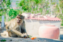 Portrait Of A Monkey Eating An...