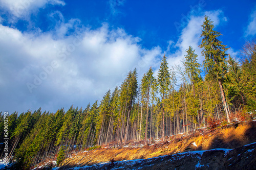 Fotografia  tall coniferous trees growing on the clay ground