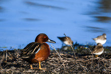 Cinnamon Teal On Shore