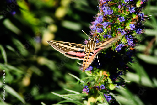 Fotografía  A Sphinx moth feedding on a violet cone of small flowers.