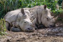 Two Rhinos Lying Down