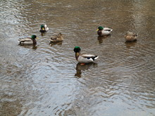 Ducks And Copy Space - Wild Birds In A Dirty Pond With Muddy Water.