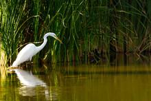 Great White Egret (Ardea Alba) Fishing In An Arizona Lake. Real Wildlife (not Taken In A Zoo).