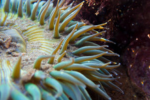 Detail Sea Anemone With Waving...