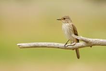 Spotted Flycatcher / Muscicapa Striata