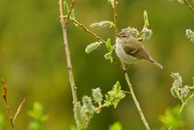 Hume's Leaf Warbler / Phylloscopus Humei