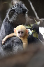 The Javan Langur (Trachypithecus Auratus), Also Known As The Ebony Lutung And Javan Langur, Is An Old World Monkey From The Colobinae Subfamily