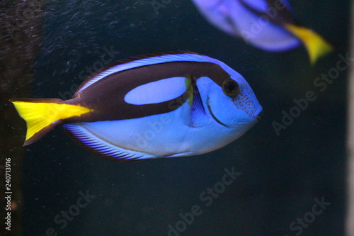 Fotografiet  View on Blue regal tang (Paracanthurus hepatus)