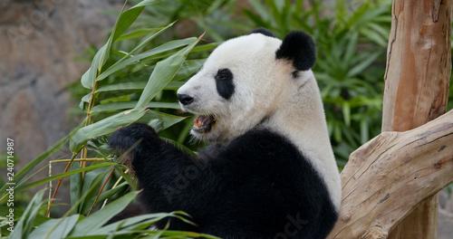 Panda eating fresh bamboo roots Wallpaper Mural