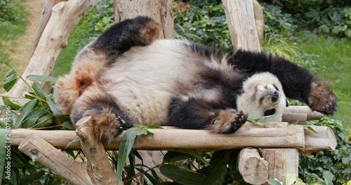 Photo  Panda sleep on the wood