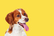 canvas print picture - Beautiful terrier dog on a yellow background