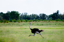 African Ostrich - Okavango Delta - Botswana