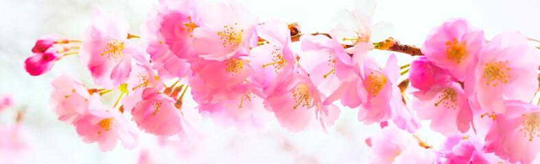 Panel Szklany Podświetlane Do kuchni background with pink cherry blossom, sakura flowers