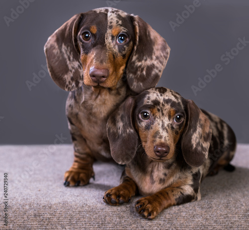 Dachshund Puppies Marble Color On A Gray Background Buy This