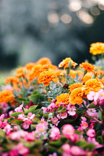 Flower Bed In The Garden With Decorative Flowers: Marigolds And Begonia