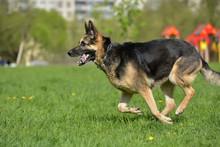 The Oldest German Shepherd Runs