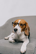 cute beagle dog lying in glasses isolated on grey background