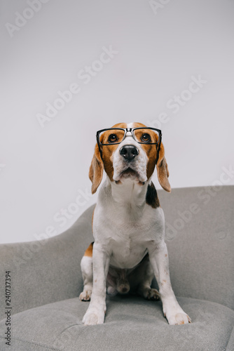 Fototapeta selective focus of cute dog in glasses sitting in armchair on grey background obraz na płótnie