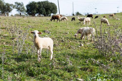 Fotografie, Obraz  Rebaño de ovejas pastando, un cordero en primer plano