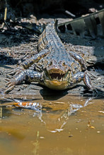 An Aggressive Crocodile In Tortuguero National Park (Costa Rica)