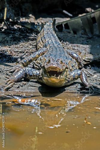 Photo  An aggressive crocodile in Tortuguero national park (Costa Rica)
