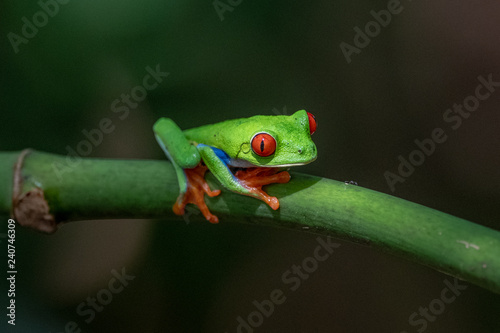 Foto op Canvas Kikker Red-eyed Tree Frog, Agalychnis callidryas, sitting on the green leave in tropical forest in Costa Rica.