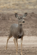 Mule (Black-tailed) Deer In Bosque Del Apache, New Mexico, USA