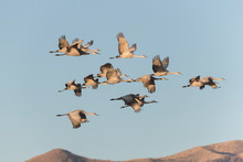 Sandhill Cranes In Bosque Del ...