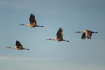 Sandhill Cranes in Bosque Del Apache, New Mexico, USA