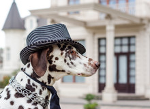 Dalmatian Dog In A Striped Hat...