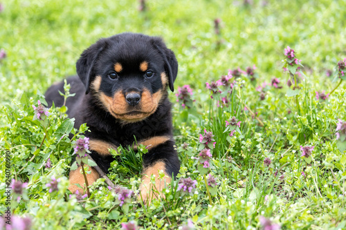 Photo Small rottweiler puppy lying outdoors
