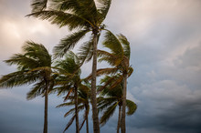 Dark, Stormy View Of Ominous Clouds Encroaching On Palm Trees Blowing In The Wind