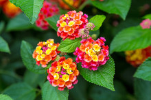 Pink And Yellow Lantana Flowers At Sunse