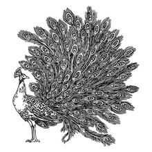 Peacock With Feathers. Sketch. Engraving Style. Vector Illustration.