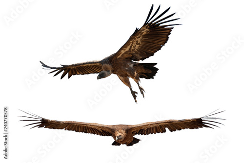 Photo  Griffon Vulture (Gyps fulvus) flying with white background, silhouette of bird