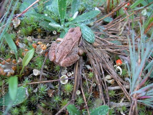 Photo Żaba trawna, Rana temporaria, na ściółce leśnej polany, Polska, Kaszuby