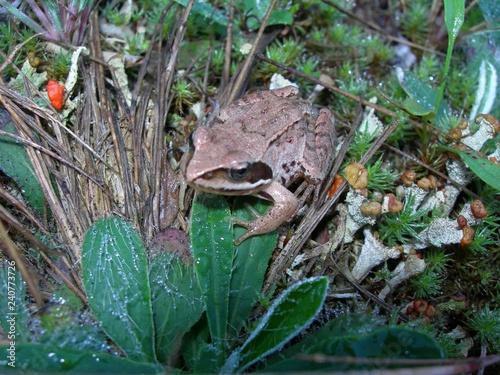 Fotografie, Obraz  Żaba trawna, Rana temporaria, na ściółce leśnej polany, Polska, Kaszuby