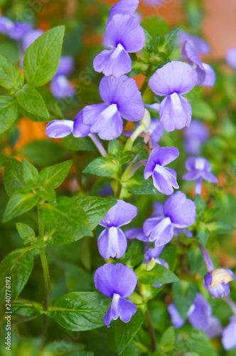 Fotografie, Tablou  Brazilian snapdragon or amazon blue violet flowers