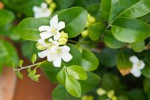 Murraya Paniculata  Or Orange Jasmine White Flowers