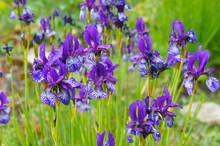 Iris Sibirica Many Violet Flow...