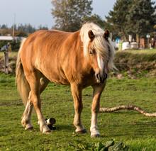Norwegian Horse In The Meadow